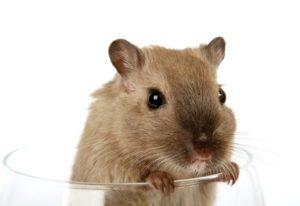 Rattenschlagfalle